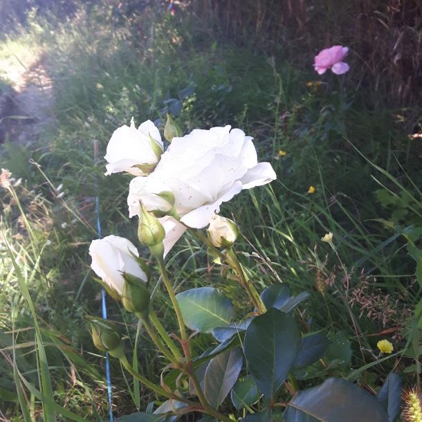 Trandafiri din prima generație plantată (2015)