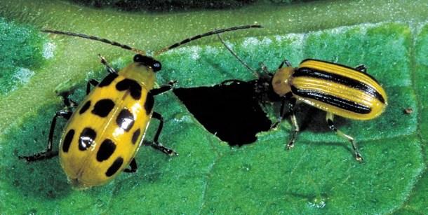 Gândacul castravetelui