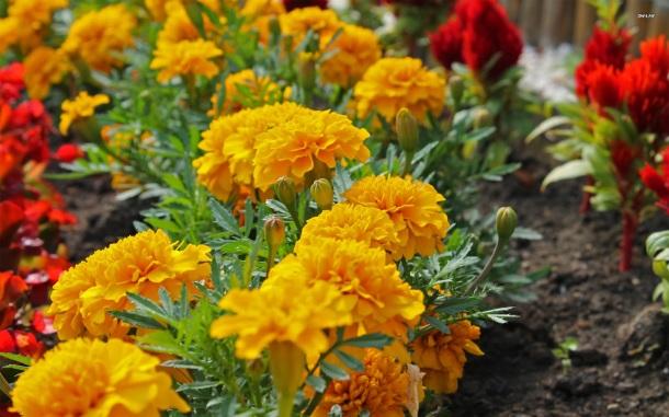 marigold mexicane
