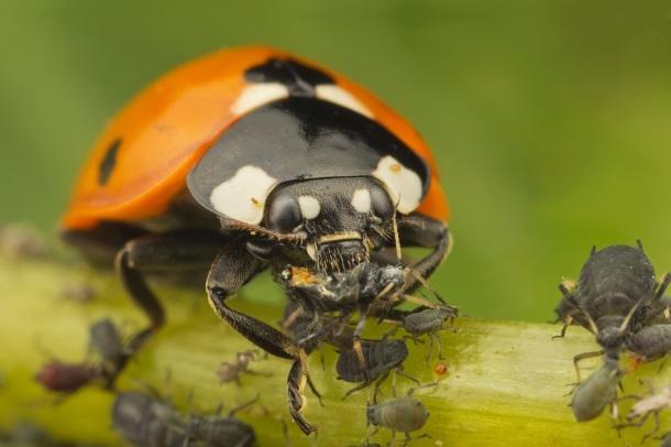 Buburuză mâncând aphide