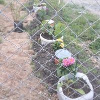Am plantat diverse răsaduri, pe lângă iasomia și lavanda existente anterior. Dalii și margarete, precum și nasturtium. Un recipient cu tarhon - să fie, acolo... iar în capul șirului (nu se vede în fotografie, un dovlecel, deja cu un fruct în formare