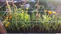 Roșiile, usturoiul și ceapa sunt mai firave în acest pat de legume decât în alte locații. Dar sunt, totuți, în parametrii așteptați