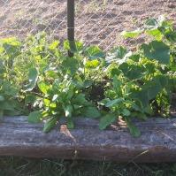 Nici acest pat nu este finalizat, dar am răsădit câteva plante de castraveți, care deocamdată merg de minune.