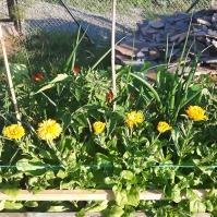 Cam înghesuială aici - ceapa, usturoiul, gălbenelele și călțunașii au crescut viguros, roșiile de asemeni dar încă nu au depășit prea mult nivelul plantelor companion.