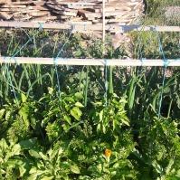 Roșiile sunt serios concurate de celelalte plante. Morcovii, ardeii (se văd foarte bine, sunt pe cale de a înflori), ceapa și usturoiul au crescut foarte bine.