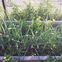 Am recoltat din acest strat salata, o nouă tură de salată urmeazăa fi semănată. Ceapa a crescut viguros, dar vița de vie a pierit.