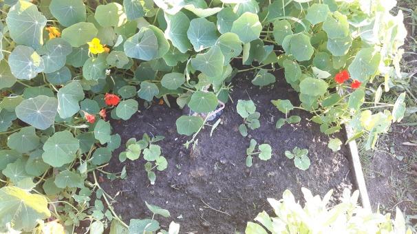 Deocamdată zucchini din centrul patului de legume sunt mici, iar călțunașii și gălbenelele le fac o concurență serioasă.