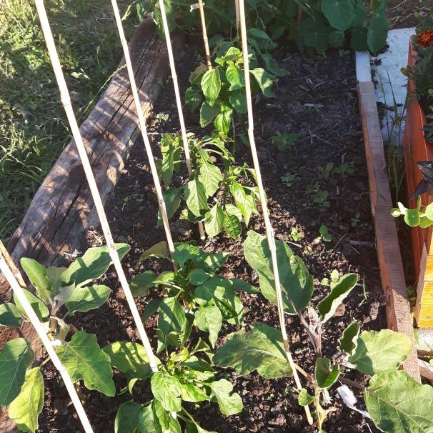 Gogoțari și două vinete în prim plan. În planul îndepărtat, o roșie de toamnă care a crescut cam sălbatec, cu ceva călțunași și gălbenele.