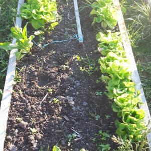 Salata încă nu a fost recoltată, în schimb spanacul da. Urmează o nouă însămânțare cu spanac.