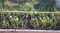 Patul este complet: cu cele trei răsaduri de roșii (unul a trebuit să fie înlocuit, după frigul de la mijlocul lunii), ceapa și usturoiul deja crescute, gălbenelele, crăițele și busuiocul sunt la post