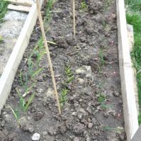 Usturoiul (stânga) și ceapa (dreapta) au răsărit, de asemeni gălbenelele (pe centru, mai trebuie rărite). Aici vor fi răsădite niște tomate țărănești. Mai trebuie să răsară colțunașii și să fie răsădite 2-3 fire de busuioc.