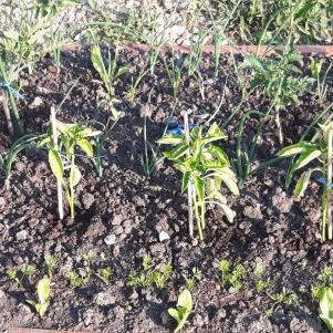 Ceapa usturoiul și morcovii au răsărit, de asemeni gălbenelele și crăițele. Am plantat și palntele de bază: răsaduri de roșii și ardei gras.