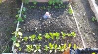 Salata a încolțit și am rărit-o, de asemeni crăițele și gălbenelele. Patul așteaptă, pentru a fi gata, răsadurile de zuchini.