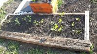 De asemeni un pat creat în luna mai. Deocamdată are plantate doar o roșie și gogoțari, precum ți niște gălbenele + nasturtium. Urmează să pun și niște salată, pe margini.