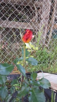Primul trandafir al acestui an; în spate se vede un al doilea boboc, de culoare roz.