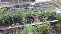 În prim plan - lavandă înflorită și lupin. În plan secund, terasele din spatele casei, cu ceapă, tomate și castraveți, dar și garoafe japoneze, crăițe și gălbenele (acestea, neînflorite). În ultimul plan, paturile de legume, cu ceapa ți tomatele aferente.