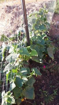 Pe o grămăjoară de mraniță am plantat un dovleac (dincolo de gard) și doi castraveți (dincoace de gard). Într-o zi, două, de aici se vor recolta primii castraveți.