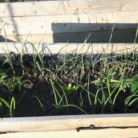 Garnitura completă: două rasaduri de roșii, ceapă, usturoi și gălbenele. Pe undeva, se vede și o mică gogonea :)