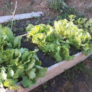 Un pat improvizat. Ar fi trebuit să fie doar flori aici, dar am plantat mai ales legume. Spanacul a fost cules, urmează în curând salata, și o reînsămânțare.