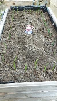 Usturoi și ceapă pe cele patru laturi, și zucchini urmând să fie semănat pe la mijlocul lui mai.
