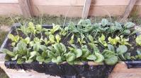în curând (dacă vremea este bună) se va putea recolta spanacul. Morcovii sunt încă mici, au concurență...
