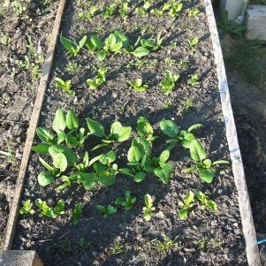 Pat creat în luna mai, pentru morcovi, pătrunjel, salată, ridichi și spanac. Evident, inevitabilele gălbenele iar undeva în spate margarete, garofițe, o dalie...