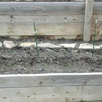 Anul trecut aici a fost o recolta mulțumitoare de zucchini. Anul acesta sper o recoltă bună de roșii cherry. Plantă companion - ceapa. Plus inevitabilele gălbenele.