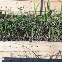 Tomate (cu o micăpătlăgică..._, castraveți, ceapă. gălbenele... Dincolo de potecă - gladiole, lupin, margarete.