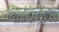 roșii, ceapă, gălbenele, salată. Mai în spate, gladiole.