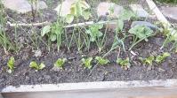 Castraveți și ardei iuți, salată și gălbenele. Crăițe și o dalie, lângă potecă.