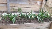 Astă toamnă am plantat câțiva bulbi. Lalele și narcise, cele mai multe. Din păcate gerul de acum o săptămână a compromis înflorirea. Sau așa se pare, deocamdată.