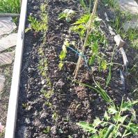 Ceapă, morcovi, castraveți și tomate. Și nelipsitele gălbenele. Ah! și o tuberoză...