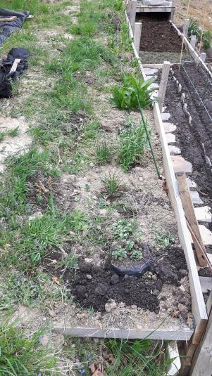Aici este stratul cu trandafiri plus ierburi aromatice (tarhon, salvie, busuioc, mărar , cimbru, leuștean, etc) și câteva flori perene (lavandă, colțunași, crăițe). După ce finalizez însămânțarea/ălantarea, și această zonă o voi acoperi cu folie + mulci.