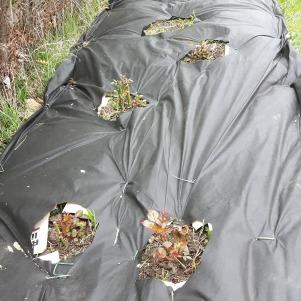 Încerc să protejez trandafirii de buruieni prin acoperirea solului cu folie, după care va urma un strat de mulci. Am început, nu am reușit să finalizez. Rămâne pentru luna mai...